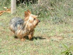 Snnopy, chien Yorkshire Terrier