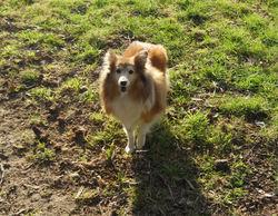 Snooka, chien Berger des Shetland