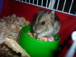 Snooki Rip, rongeur Hamster