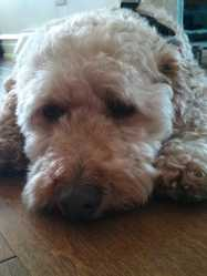 Snooki, chien Caniche