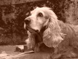 Snoopi, chien Cocker anglais