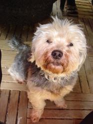 Snoopie, chien Lhassa Apso