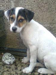 Snoopie, chien Jack Russell Terrier