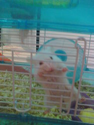 Snoopy, rongeur Hamster