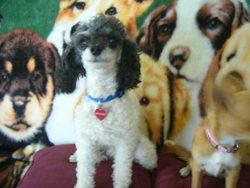 Snoopy , chien Caniche