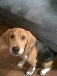 Snoopy, chien Beagle-Harrier