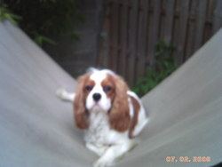 Snoopy, chien Cavalier King Charles Spaniel