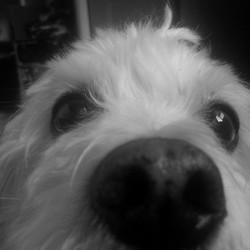 Snoopy, chien Bichon maltais