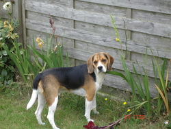 Snoopy, chien Beagle