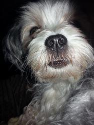 Snoopy, chien