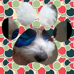 Snoopy, chien Coton de Tuléar
