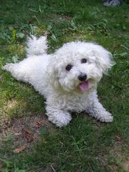 Snoopy, chien Bichon à poil frisé