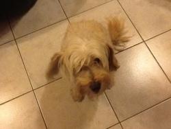 Snoopy , chien Bichon maltais