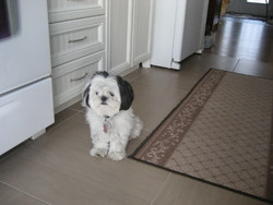 Snoopy, chien Shih Tzu