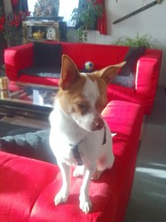 Snoopy, chien Chihuahua