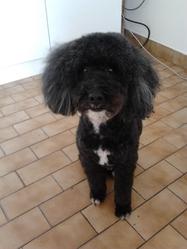 Snoopy, chien Caniche