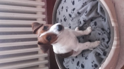 Snoopy, chien Jack Russell Terrier