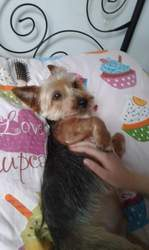 Snoopy, chien Yorkshire Terrier