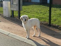 Snoopy, chien Golden Retriever