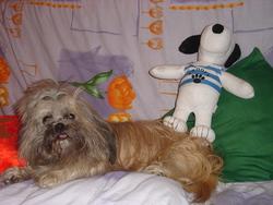 Snoopy , chien Shih Tzu