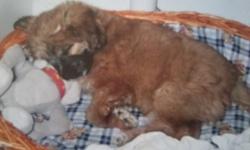 Snoopy, chien Berger des Pyrénées
