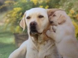 Snoopy Et Dido, chien Labrador Retriever
