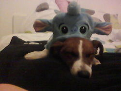 Snoppy, chien Jack Russell Terrier