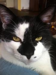 Snorky, chat Européen