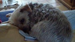 Snouppy, chien Yorkshire Terrier