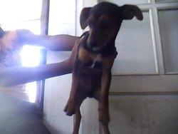 Snoupy, chien Pinscher