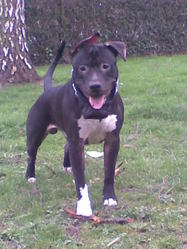 Snoupy, chien American Staffordshire Terrier