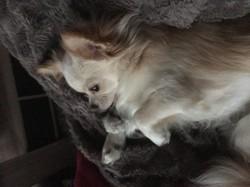 Snow, chien Chihuahua