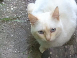 Snow-Décédé, chat Européen