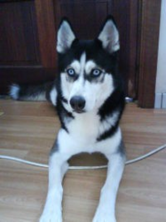 Snow Donné, chien Husky sibérien