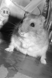 Snow, rongeur Hamster