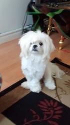 Snow, chien Shih Tzu