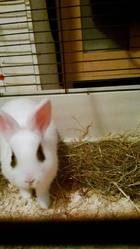Snow, rongeur Lapin