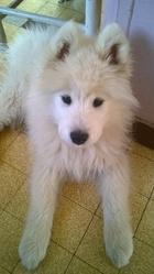 Snow, chien Samoyède
