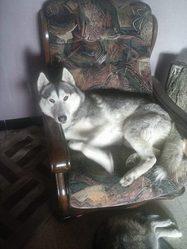 Snow, chien Husky sibérien