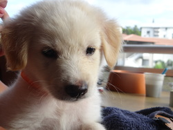 Snow, chien Golden Retriever