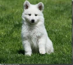 Snow, chien Chien-loup tchèque