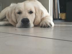 Snow, chien Golden Retriever