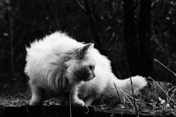 Snow Flake, chat Gouttière