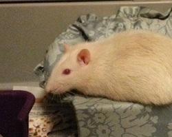 Snowball, rongeur Rat