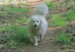 Snowbelle, chien