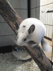 Snowki, rongeur Chinchilla