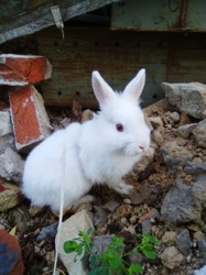 Snowy, rongeur Lapin