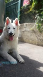Snowy, chiot Berger blanc suisse