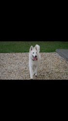 Snow, chien Berger blanc suisse
