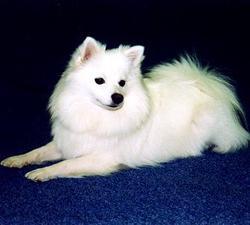 Snowy, chien Spitz allemand